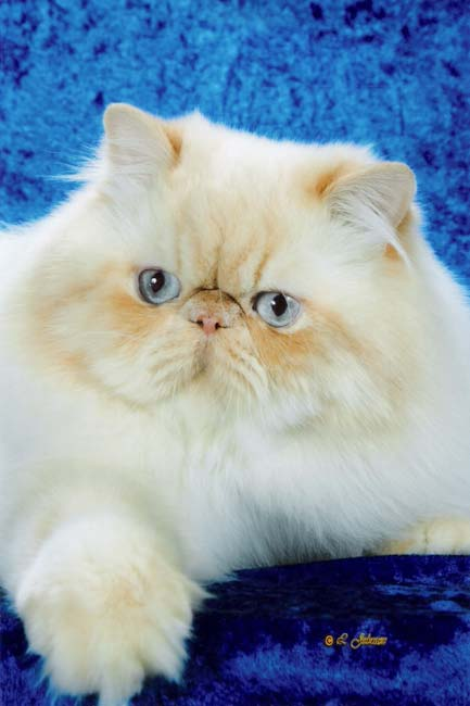 Cream Puff - Cream Point Himalayan