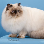 Sweetheart - Tortie Point HImalayan