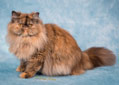 Chantilly - Chocolate Tortie PersChantilly - Chocolate Tortie Persian