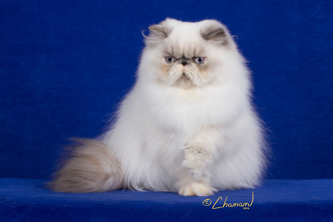 Cher - Blue-Cream Point Himalayan