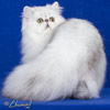 Cherrybirdie Just A Dream - Shaded Silver PersianCherrybirdie Just A Dream - Shaded Silver Persian