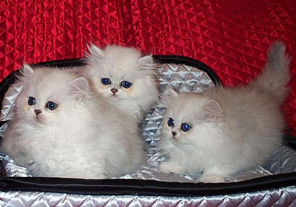 Cherrybirdie Silver Persian Kittens