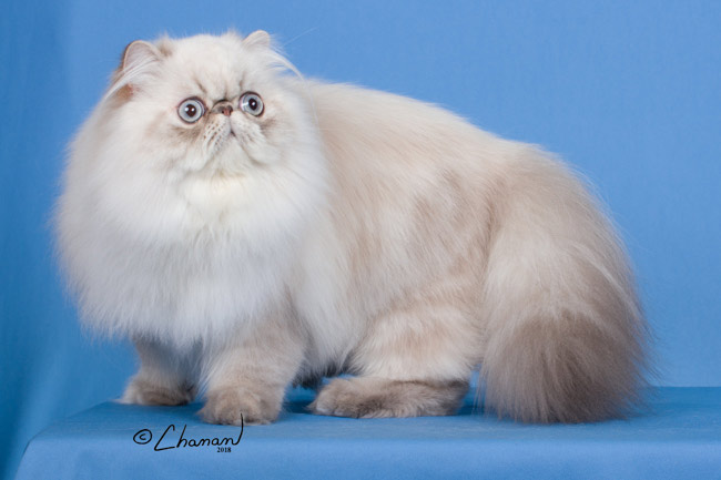 Countrygal Majestic of Cherrybirdie-Blue Lynx Point Himalayan