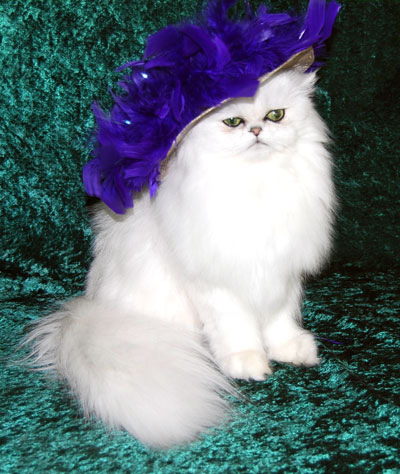 Chinchilla Silver Persian Posing as Mae West
