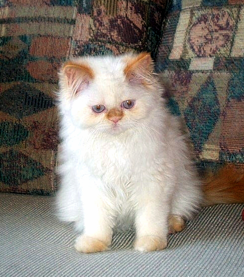 Flame Point Himalayan Cat Photos http://cherrybirdie.com/flamepointhima.html